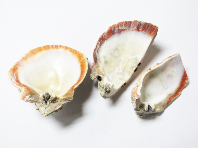 Spiny Oyster Natural Shell